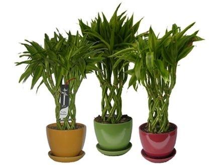 Bambusul- efecte benefice